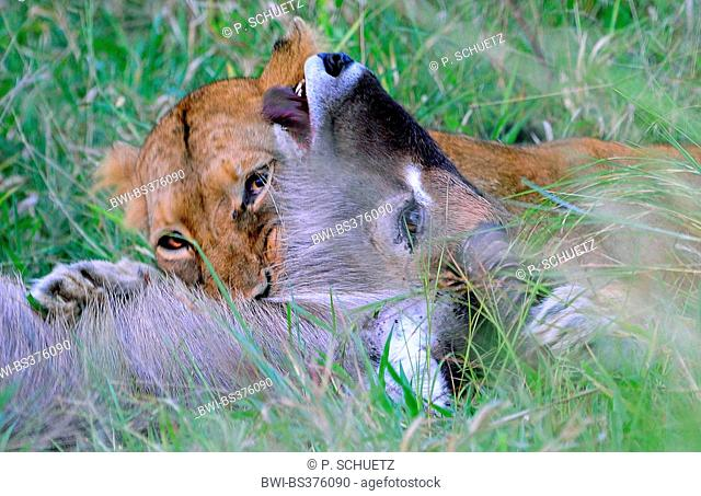 lion (Panthera leo), lioness destroying a waterbuck with a throat bite , South Africa, Krueger National Park