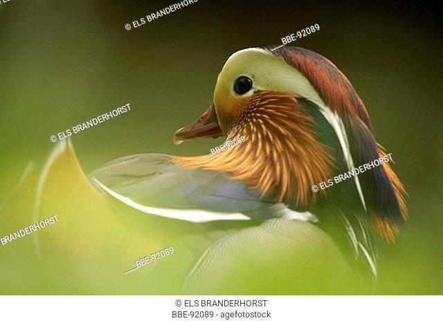 Portrait of a Mandarin Duck