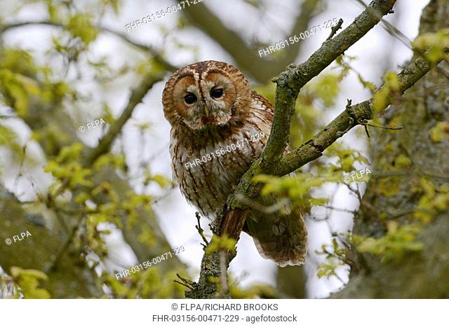 Tawny Owl (Strix aluco) adult, perched on branch in oak tree during daylight, Norfolk, England, May