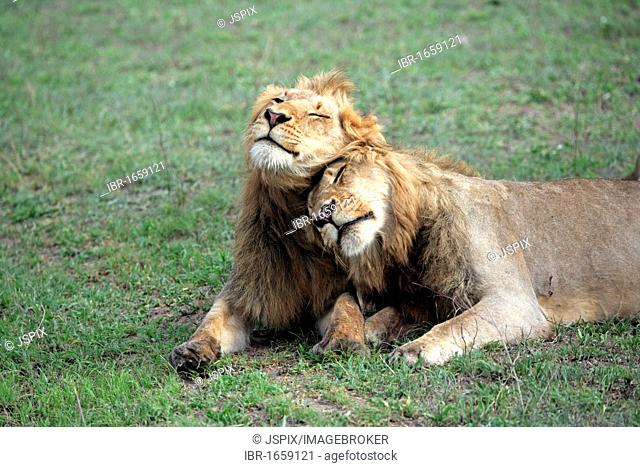 Lion (Panthera leo), two male adults resting, social behaviour, Sabisabi Private Game Reserve, Kruger National Park, South Africa, Africa