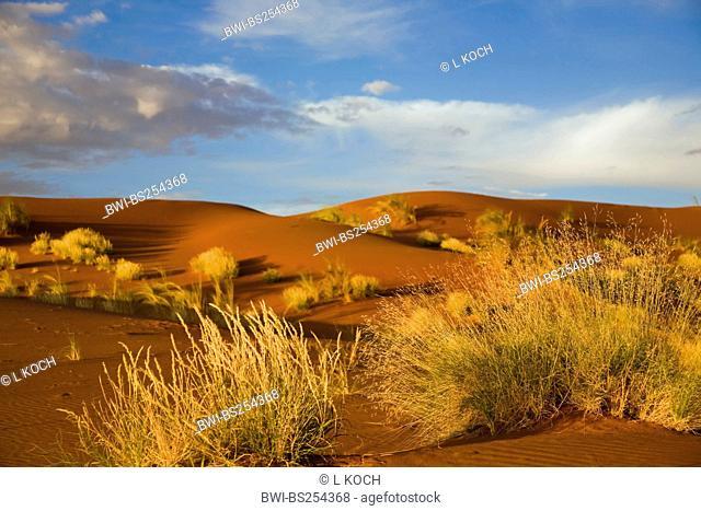 dune grasses in Namib desert, Namibia, Namibrand