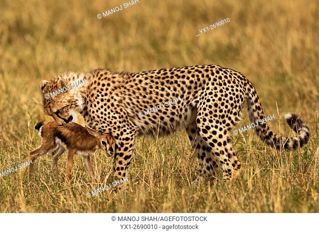 Cheetah smelling a Thomson's Gazelle