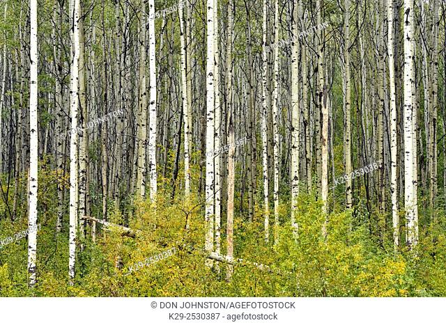 Boreal aspen woodland with early September snow, Liard Trail, Northwest Territories, Canada