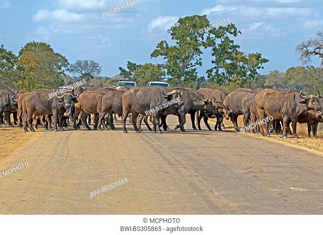 African buffalo (Syncerus caffer), herd crossing a street, South Africa, Krueger National Park