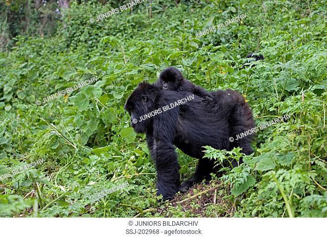 Mountain Gorilla (Gorilla beringei beringei). Mother with young on her back. Volcanoes National Park, Rwanda