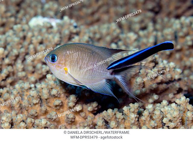 Ambon Chromis cleaned by Cleaner Wrasse, Chromis amboinensis, Labroides dimidiatus, Russell Islands, Solomon Islands