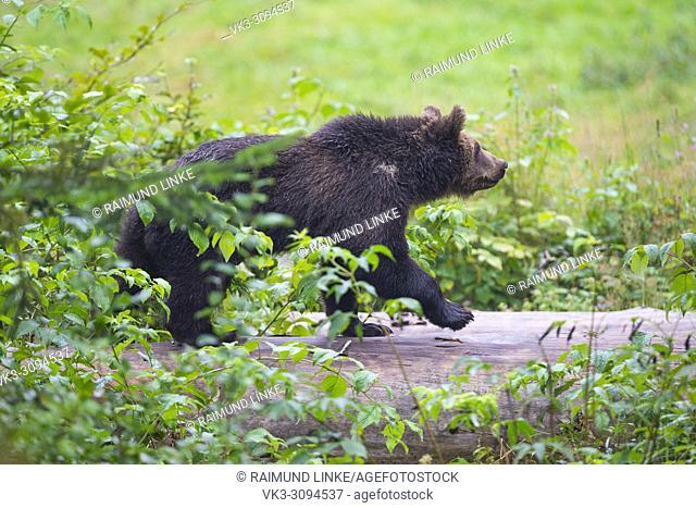 European Brown Bears, Ursus arctos, Cub on tree trunk, Bavaria, Germany