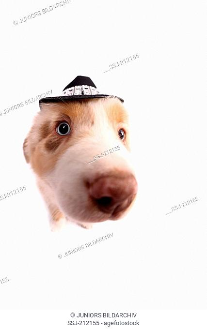 Australian Shepherd. Puppy sitting wearing a cowboys hat. Studio picture against a white background