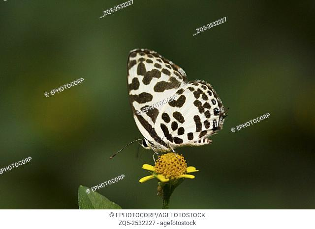 Common pierrot butterfly, Castailus sp, Lycaenidae, Gumti, Tripura, India