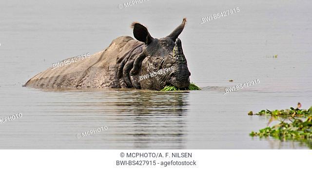 Greater Indian rhinoceros, Great Indian One-horned rhinoceros (Rhinoceros unicornis), in water, India, Assam, Kaziranga National Park