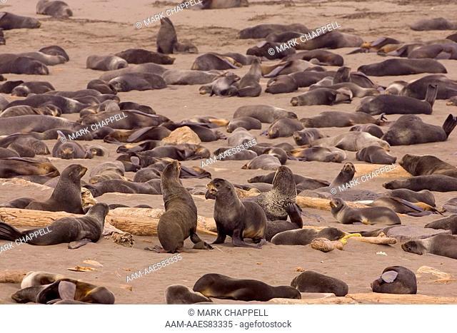 Northern Fur Seals (young males) (Callorhinus ursinus) St. Paul Island, Pribilofs, Alaska