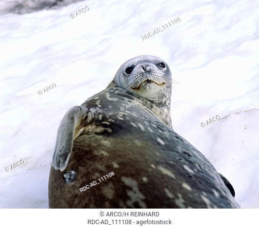 Weddell Seal Antarctica Leptonychotes weddelli