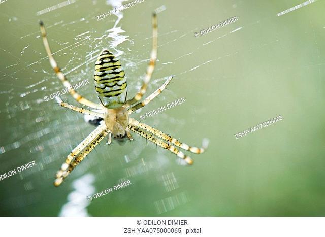 Yellow Garden Spider argiope aurantia consuming prey caught in its web