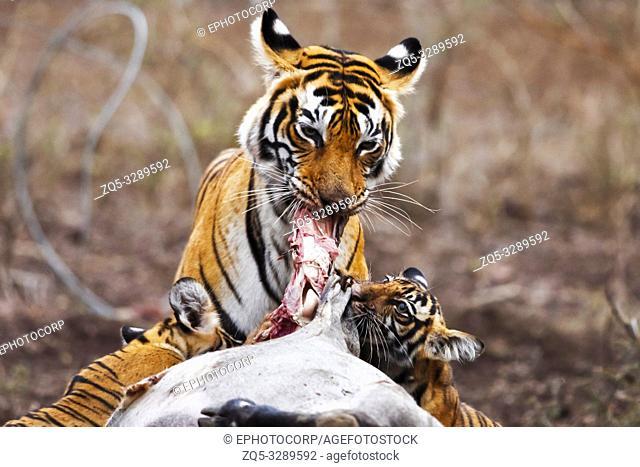 Tiger with kill, Panthera tigris, Ranthambore Tiger Reserve, Rajasthan, India