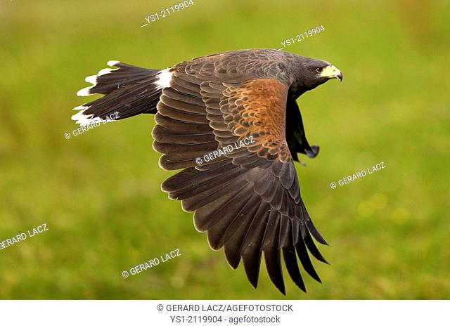 Harris Hawk, parabuteo unicinctus in Flight
