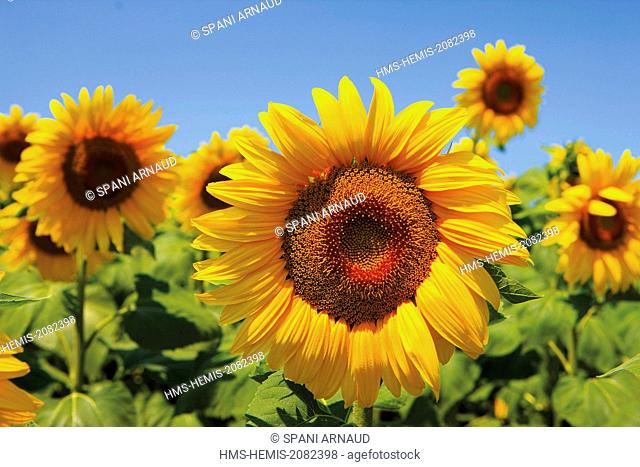 France, Tarn, Puylaurens, detail of a sunflower in a field of sunflowers in summer