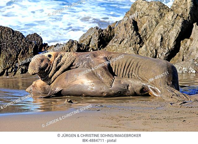 Northern Elephant Seals (Mirounga angustirostris), adult, animal couple on the beach mating, Piedras Blancas Rookery, San Simeon, San Luis Obispo County