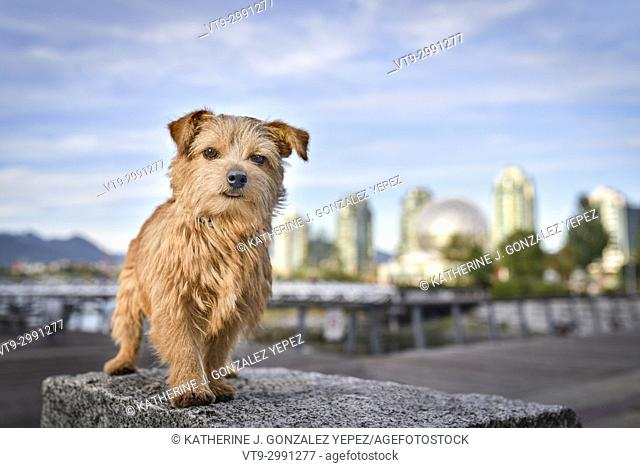 Norfolk Terrier dog in the city