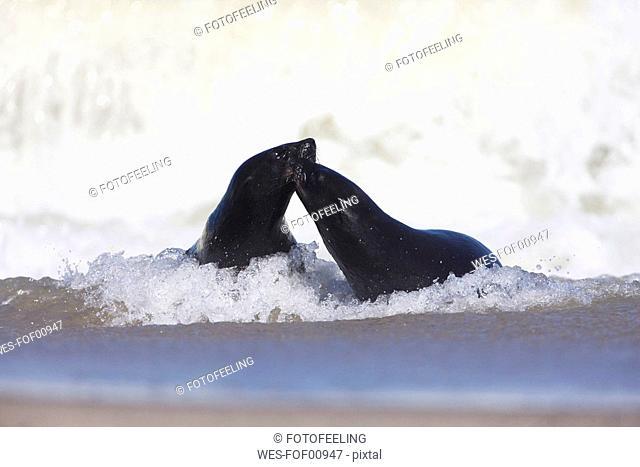 South Africa, Cape Cross,Two Cape Fur Seals Arctocephalus pusillus in sea