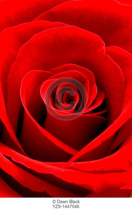 Heart Rose Portrait