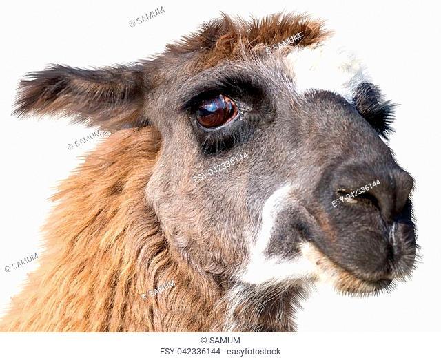 very Beautiful lama portrait on a white background