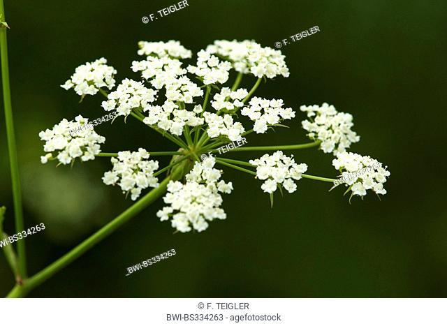 Skirret, Crummock (Sium sisarum), inflorescence