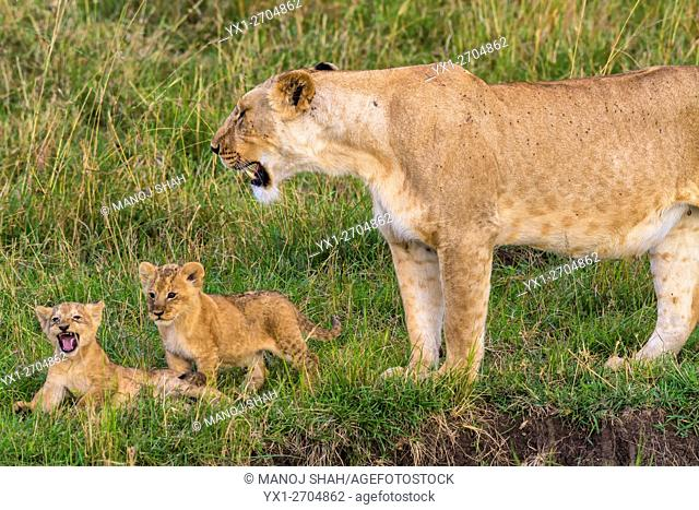 LIoness with 2 cubs