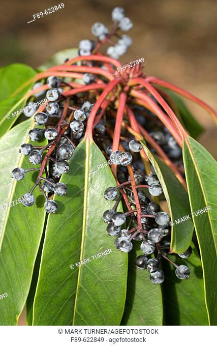 Yuzuri-ha fruit & foliage detail (Daphniphyllum macropodum). VanDusen, Vancouver, BC