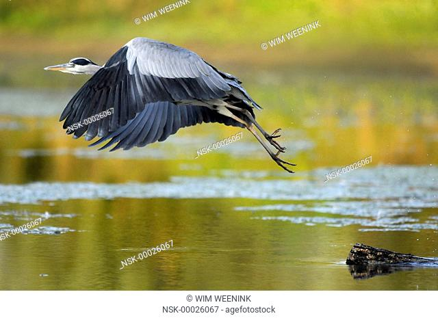 Grey Heron (Ardea cinerea) taking off from a branch in the water, The Netherlands