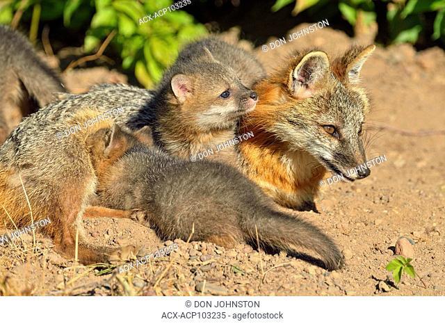 Grey Fox, Urocyon cinereoargenteus, Mother nursing kits, captive raised, Minnesota wildlife Connection, Sandstone, Minnesota, USA