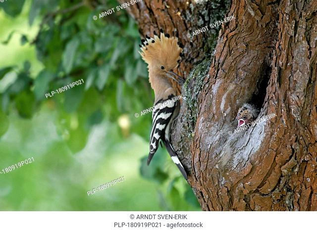 Eurasian hoopoe (Upupa epops) brings caught insect prey to chicks in nest in hollow tree in spring