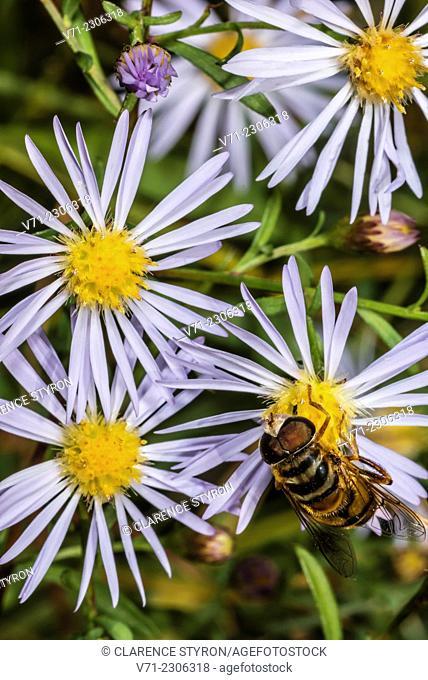 Drone Fly (Eristalis tenax) Feeding on Aster (Aster elliotti) Flower