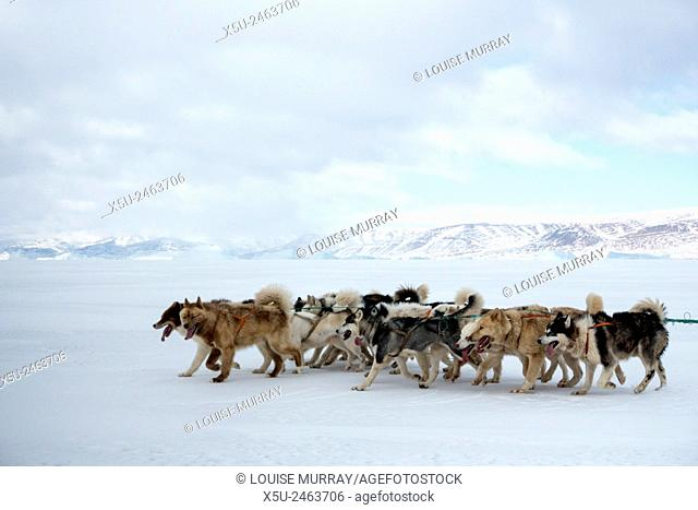 Greenlandic husky dog team running and pulling a sled near the floe edge in midnight sun