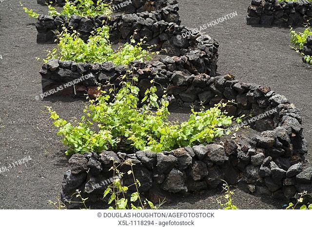 grape vines LA GERIA LANZAROTE Lava dry stone walls protecting grape vines on volcanic ashes field