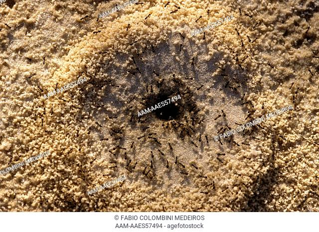 Ants at anthill Tocantins, Brazil