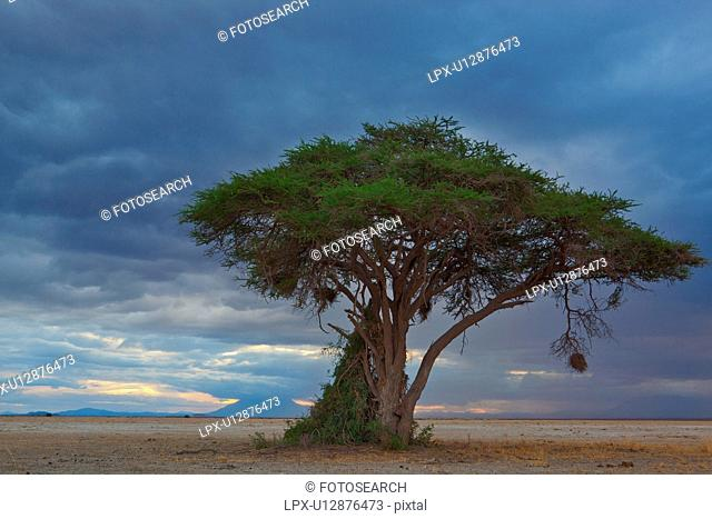 Sunset at Amboseli: yellow pink sunlight with dramatic stormy blue grey clouds, over distant mountain, sandy plains and single acacia tree with hanging weaver...