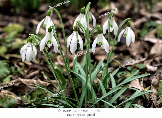 Snowdrops (Galanthus) amongst leaves, Baden-Württemberg, Germany
