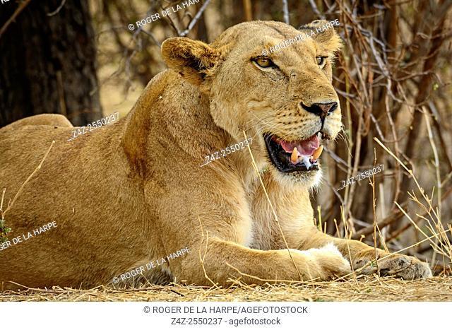 Masai lion or East African lion (Panthera leo nubica syn. Panthera leo massaica). Ruaha National Park. Tanzania