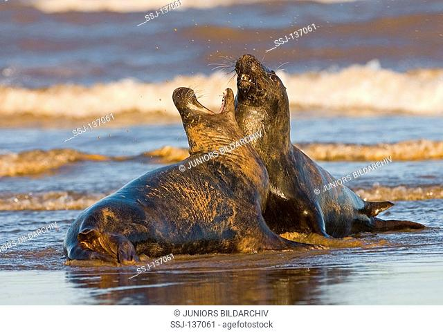 two grey seals - figthing / Halichoerus grypus