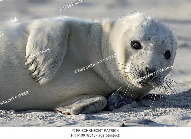 Baby animal, Germany, Europe, Halichoerus grypus, Helgoland, dune, island, isle, young, grey seal, coast, Lanugo, sea, marine mammal, nature, newborn, North Sea