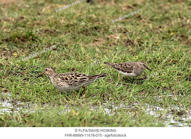 Pectoral Sandpiper female (left) with Temminck's Stint. Spring North Norfolk 2016