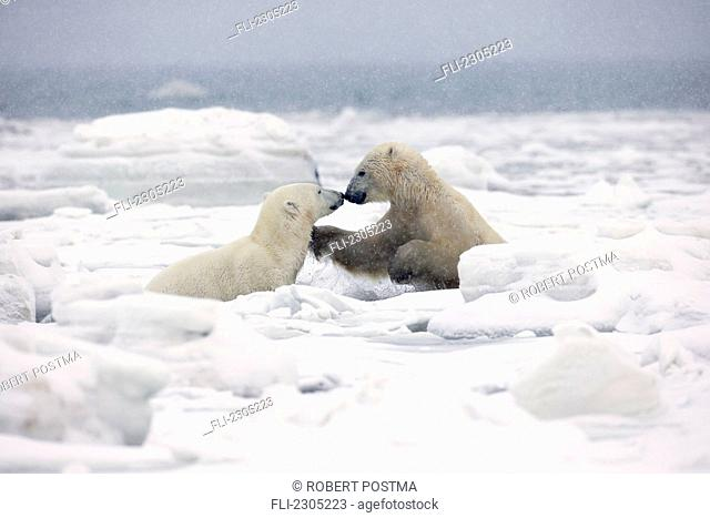 Polar Bears Play Fighting In The Icy Waters Of Hudson's Bay;Churchill Manitoba Canada