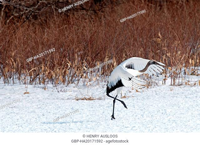 Japanese crane, Red-crowned crane (Grus japonensis) young dancing, Japan