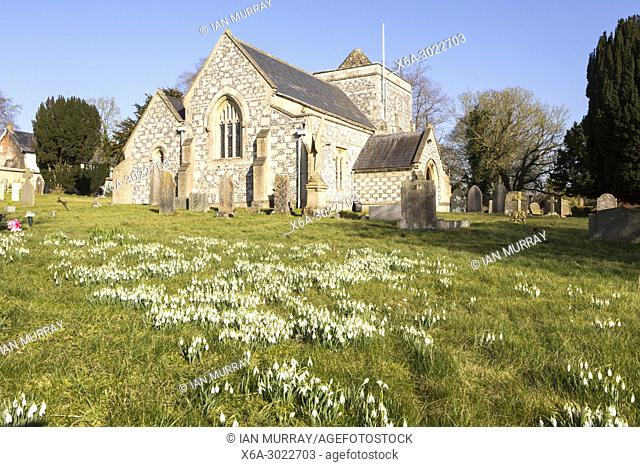 Showdrops in flower in churchyard of village parish church of Saint Thomas A Becket, Tilshead, Wiltshire, England, UK