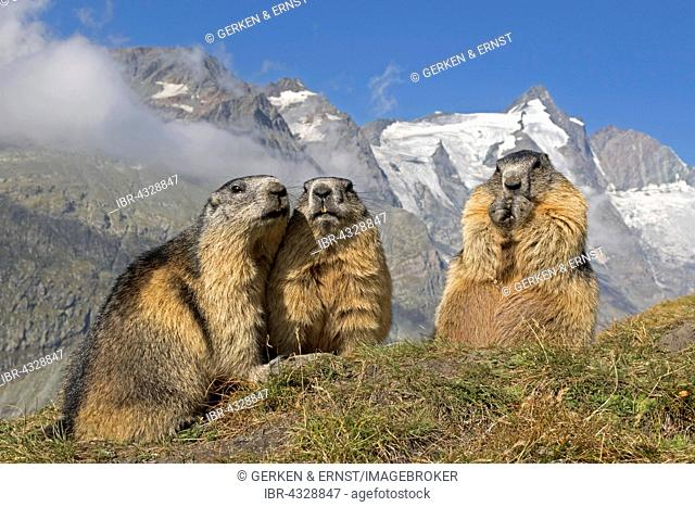 Alpine marmot (Marmota marmota), group in front of Grossglockner, High Tauern National Park, Austria