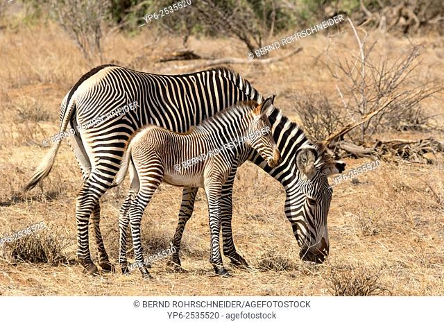 Grévy's zebras (Equus grevyi), female with foal, Samburu National Reserve, Kenya