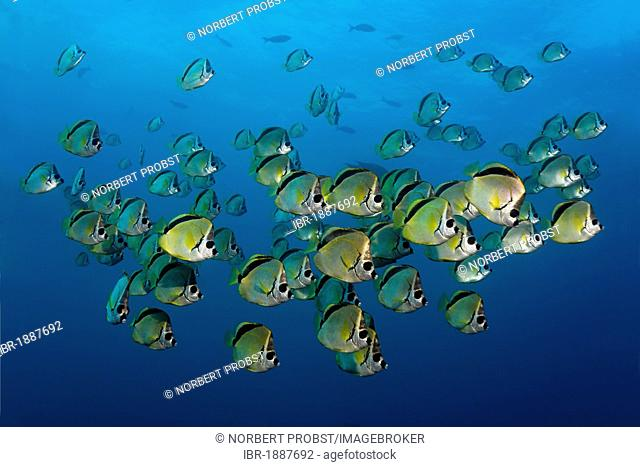Blacknosed Butterflyfish or Barberfish (Johnrandallia nigrirostris), school, North Seymour Island, Galápagos Islands, Pacific