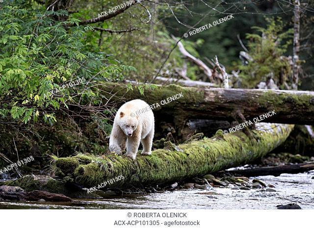 Spirit bear (Ursus americanus kermodei), male, along salmon (Oncorhynchus sp.) spawning creek, Great Bear Rainforest, British Columbia, Canada