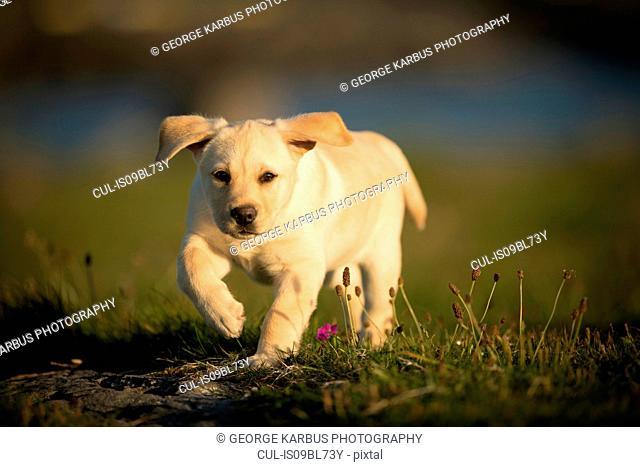 Labrador puppy, walking outdoors, Doolin, Clare, Ireland