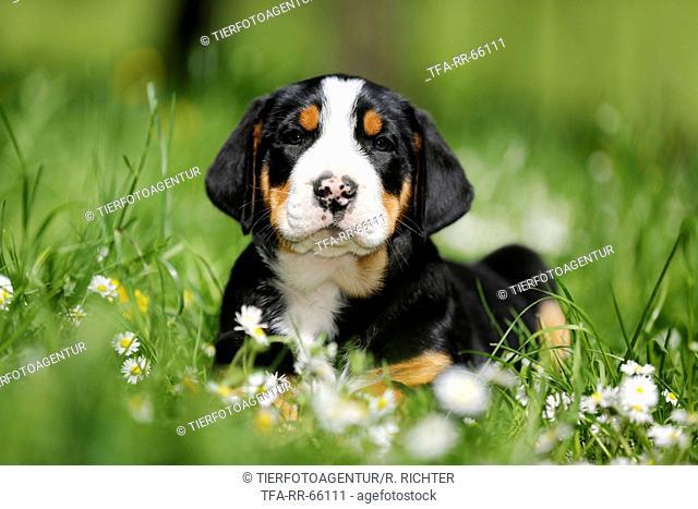 Greater Swiss Mountain Dog Puppy in flower meadow